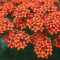 Kalanchoe is a member of the family known as Crassulaceae.