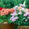 Salmon orange geraniums and blue ageratums can brighten a porch with colorful spring bouquets.