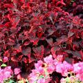 The burgundy and pink foliage of the Mississippi Summer sun coleus works well with many plants including this bright pink bougainvillea.