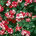 Rose-Form Impatiens -- Sparkler Cherry will be introduced in 2003, but it is part of the Fiesta Series of rose-form impatiens that have more than a dozen color varieties available at nurseries today. Some of the varieties include Salsa Red, Burgundy Rose, Coral Bells, Purple Pinata and Stardust Lavender.