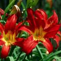 Spiderman is a hit at the theater box office with the movie and is a hit in the garden with the bright red blooms of the Spiderman daylily.