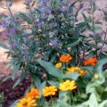 The blue flowers of caryopteris combine well with the Profusion Orange zinnia, and both plants are tough in Mississippi's sweltering heat. Other good companion plants would be lantana, salvias and purple heart. Try growing large drifts of bluebeard in front of purple coneflowers, rudbeckia or tall selections of gomphrena.