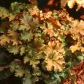 The ruffled, amber-gold foliage of Amber Waves deserves a place in partially shaded gardens, even if its rose-shaped flowers never appeared.