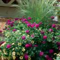 This striking, colorful mixed container includes Mexican feather grass, Superbena Dark Blue and Superbells Yellow calibrachoa.