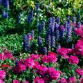 The bright blue blossoms of the ajuga stand tall and colorful in combination with these pink Babylon verbenas.