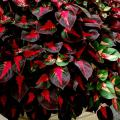 The bold, vibrant colors of the Magilla Perilla will add a tropical flair to any style garden.