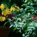 The Gold Star esperanza produces yellow, bell-shaped flowers from spring until frost and attracts hummingbirds and butterflies.