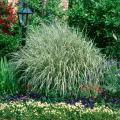 Make your beds large enough so that a grass like this Japanese Silver Grass can reach its true potential.