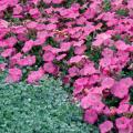 Silver Falls dichondra makes a stunning groundcover when grown in front of flowers like these pink petunias or foliage like Mississippi Summer Sun coleus.