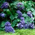 The Minimus aureus sweet flag makes a golden street in front of blue French hydrangeas.