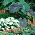 With huge, lush foliage, Black Magic elephant ears make an everyday garden look like the West Indies.