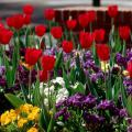 With pansy season at hand, consider companion plantings that will not only look good this fall and winter but also offer a crescendo next spring. Try red tulips with blue and white pansies.