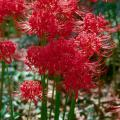 Because the red spider lily doesn't bloom long, it makes a great addition to beds with a groundcover like ivy: the flowers will emerge above the groundcover but will not be missed when they retreat back to the ground.