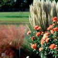 Visitors to the Fall Flower and Garden Fest can expect to find a variety of flowers and ornamental grasses, like the muhly grass and dwarf pampas shown here.