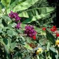 The Princess Flower is native to Brazil and produces flowers of exceptional beauty. This tropical can be grown in the landscape as an annual or as a container plant on the porch, patio or deck. Here it looks beautiful in bloom in front of bananas.