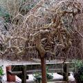 Not all winter landscape appeal comes from colorful bark. The weeping mulberry may be unsurpassed in beauty because once its leaves have dropped, it reveals its fantastically twisted and gnarled branches.