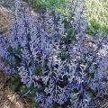 Though its foliage is handsome, it is Mona lavender's spikes of dark lavender flowers that everyone adores.