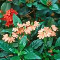The crossandra and Maui ixora combine wonderfully in this early-morning-sun garden to give a tropical look for months.