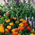 Late summer- to early fall-planted marigolds can give gardens the pick-me-up of color they need. Use the complementary color of blue when growing marigolds in the orange to red color scheme, or violet when growing those in the yellow range.