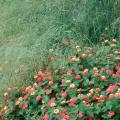 Wind Dancer love grass in the top of this photo makes a spectacular backdrop in a bed with Peach Sunrise lantanas, some of the new selections in the Landmark series.
