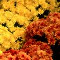 Some of the most durable Belgian mums are Conaco Orange and Conaco Yellow, which produce impressive floral displays.