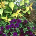 Chardonney Pearls deutzia, Sanguna Midnight Blue Petunia and Coffee Twist sedge combine wonderfully in a container that would be a hit on any porch, patio or deck.