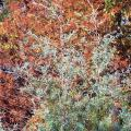 The blue-green foliage of the Arizona cypress stands out in showy contrast against the fall rusty red needles of the bald cypress.