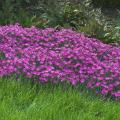 The Firewitch dianthus, or cheddar pink, is a low growing, mat-forming plant with narrow, bluish-gray foliage and brilliant purplish-pink flowers. The blooms cover the plant and perfume the air with a spicy, clove-like fragrance.
