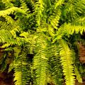 Each Tiger Fern frond resemble a tiger's stripes with different colors and different patterns of variegation. The colors will vary from dark green to lime green and golden yellow.