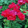 2006 Mississippi Medallion winner Knock Out is a shrub rose that is very disease resistant, and plants are heat and drought tolerant once established.
