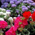 The Cloud Nine ageratum is a new vegatively propagated series. They are large plants with big flowers that work well in mixed containers.