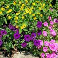 The melampodium produces small, brightly colored, daisy-like flowers from spring through frost. These yellow-gold blossoms allow them to partner wonderfully with pink and blue-violet to purple petunias.