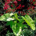 This display of Lime Zinger elephant ears is perfect underneath red Tonto crape myrtles and above a bed of Joseph's Coats.