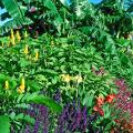 The tall candlestick plant on the left with the bright yellow blossoms combines with cannas, bananas and salvias for a fall Caribbean style garden.