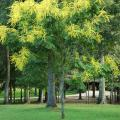 The goldenrain tree fits nicely in urban landscapes. They are small, reaching 20 to 40 feet in height, and they erupt into long 12- to 15-inch sprays of yellow blossoms. They are drought tolerant once established in the landscape with little-to-no insect or disease threats.