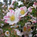 Mississippi's camellias deserve extra attention