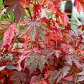 Haight Ashbury has a distinctive maple leaf shape with serrated leaves and an incredible variegation of red, copper and pink. Its top attributes include drought tolerance, heat tolerance and deer resistance.