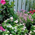 The bright eyes of these Titan periwinkles contribute to this fence-line display of summer flowers.