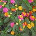 New lantana varieties like this Landmark Sunrise Rose are selected for non-stop blooming and vibrant colors that rival carnival in Rio.