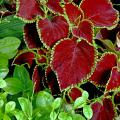 Chocolate Mint is a new coleus that is making its debut this year. Its leaves are a dark mahogany with dark lime-green edges.  It offers incredible beauty and versatility when it comes to picking plant partners.