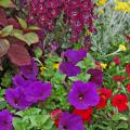 Angelface Dark Violet angelonia and Flambe Yellow chrysocephalum stand guard over these blue petunias and red calibrachoa.
