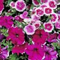 Telstar Purple Picotee dianthus and Symphony Burgundy Picotee petunia compose a beautiful monochromatic spring garden.