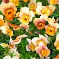 Angel Terracotta viola brings rare colors to the garden with its bright orange face that changes to various shades of terracotta with slight hints of mauve.