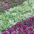 Flowering kale and cabbage are wonderful winter options. Try planting bold drifts of one color adjacent to a drift of another or a drift of pansies.