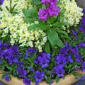 This combination with Harmony Lavender stock in the center, surrounded by Fantasy White with Yellow Eye linaria and Gem Sapphire viola around the rim makes a great cool-season arrangement.