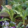 Cardoon makes a great foliage plant in ornamental flowerbeds, such as partnered here with pansies. This member of the thistle family is resistant to deer but edible for the rest of us.