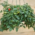 Hanging baskets overflowing with tomatoes like this Tumbling Tom variety are a clear sign that interest in the patio vegetable garden is going through the roof.