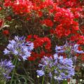 The blue flowers of Lily of the Nile are unforgettable when grouped in front of red bougainvillea plantings. (Photo by Norman Winter)