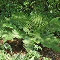 The Japanese tassel fern gets its name from the way young fronds, called crosiers, unfurl and bend backward, drooping in a tassel form before flattening out. The evergreen fronds are a shiny, deep, dark green that gives an almost waxy appearance. (Photo by Norman Winter)