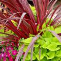 The Electric Pink cordyline is the thriller plant in this mixed container combined with the cascading, lime-green foliage of the Sweet Caroline Sweetheart ornamental sweet potato. (Photo by Norman Winter)